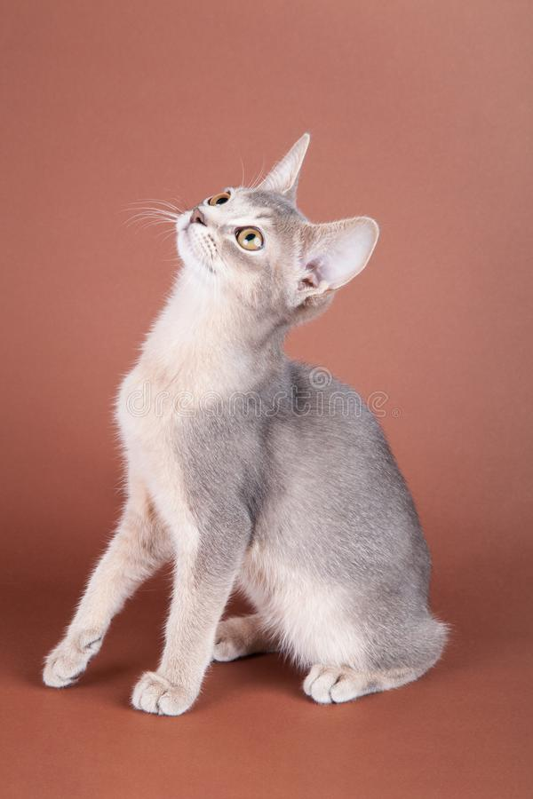 An little abyssinian blue cat, kitty. On a brown background stock image