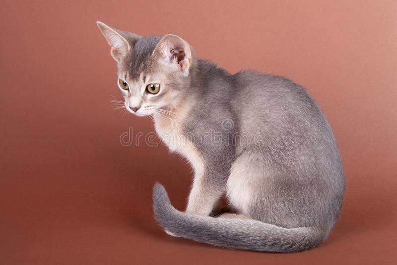 An little abyssinian blue cat, kitty. On a brown background stock photo