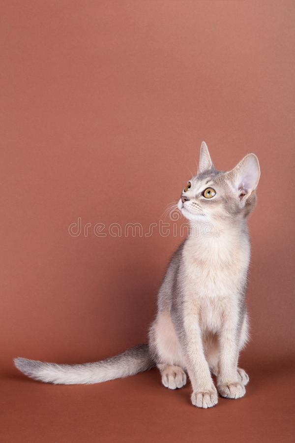 An little abyssinian blue cat, kitty. On a brown background stock images