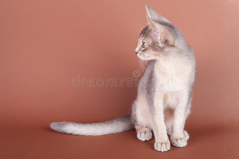 An little abyssinian blue cat, kitty. On a brown background royalty free stock photo