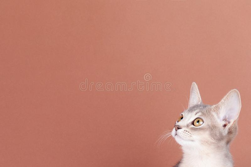 An little abyssinian blue cat, kitty. On a brown background royalty free stock photography