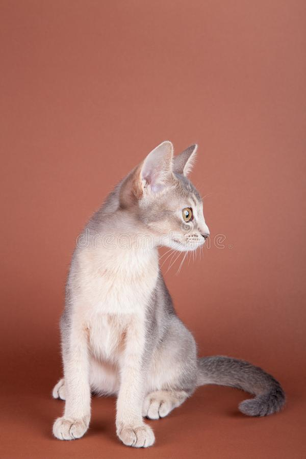 An little abyssinian blue cat, kitty. On a brown background stock photos