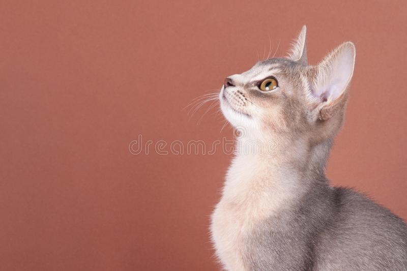 An little abyssinian blue cat, kitty. On a brown background royalty free stock photos
