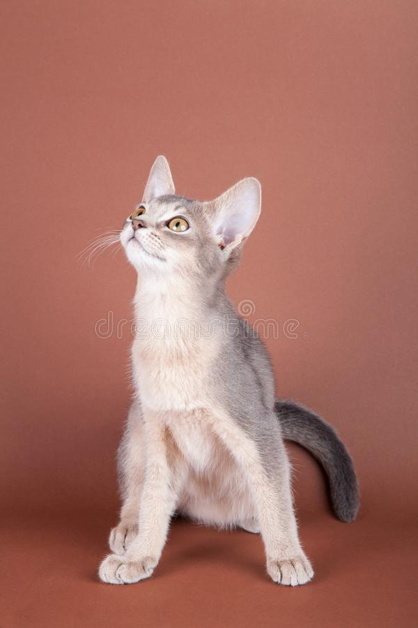An little abyssinian blue cat, kitty. On a brown background royalty free stock images