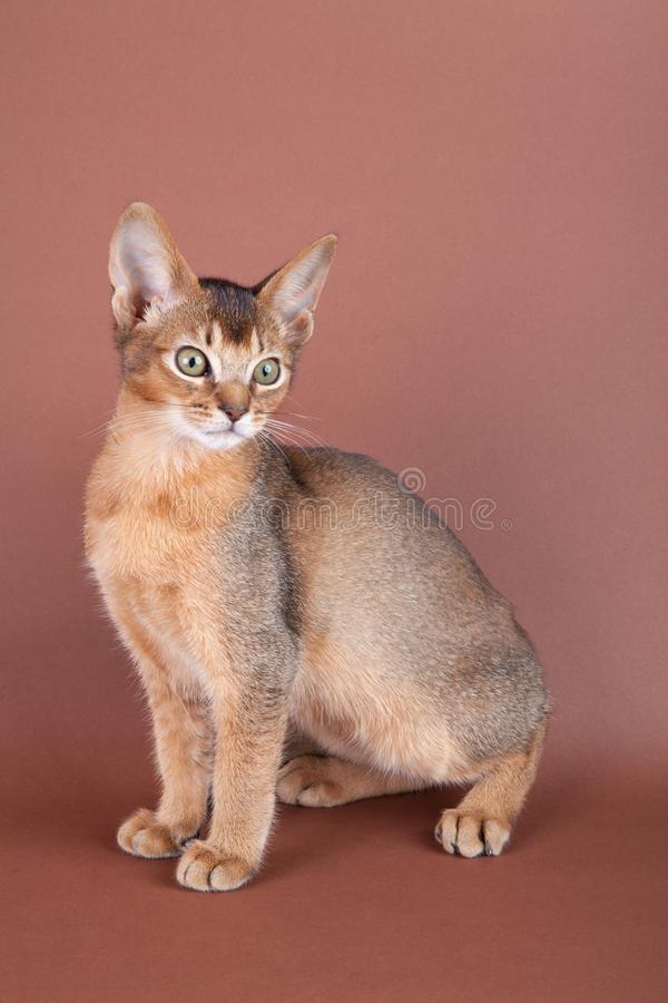 An little abyssinian ruddy cat, kitty. On a brown background stock photos
