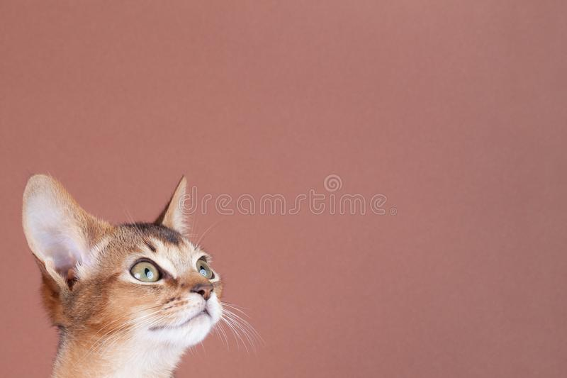 An little abyssinian ruddy cat, kitty. On a brown background royalty free stock image