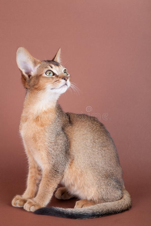 An little abyssinian ruddy cat, kitty. On a brown background royalty free stock images