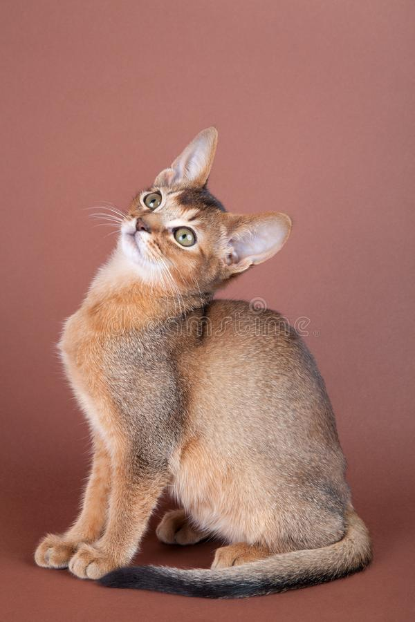 An little abyssinian ruddy cat, kitty. On a brown background stock photography