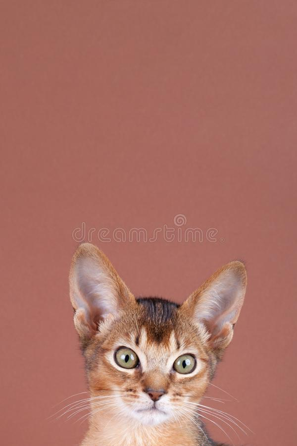 An little abyssinian ruddy cat, kitty. On a brown background royalty free stock photos