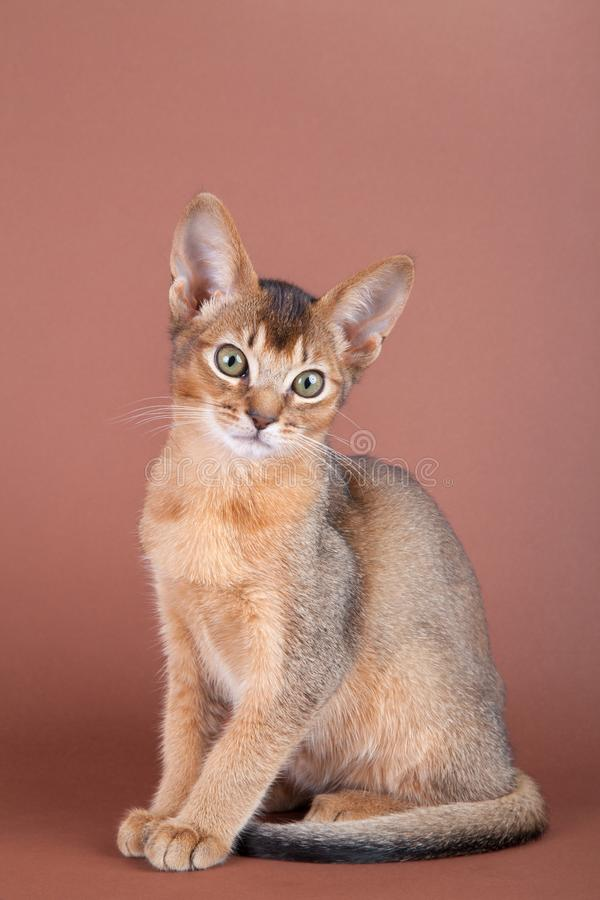An little abyssinian ruddy cat, kitty. On a brown background royalty free stock photography