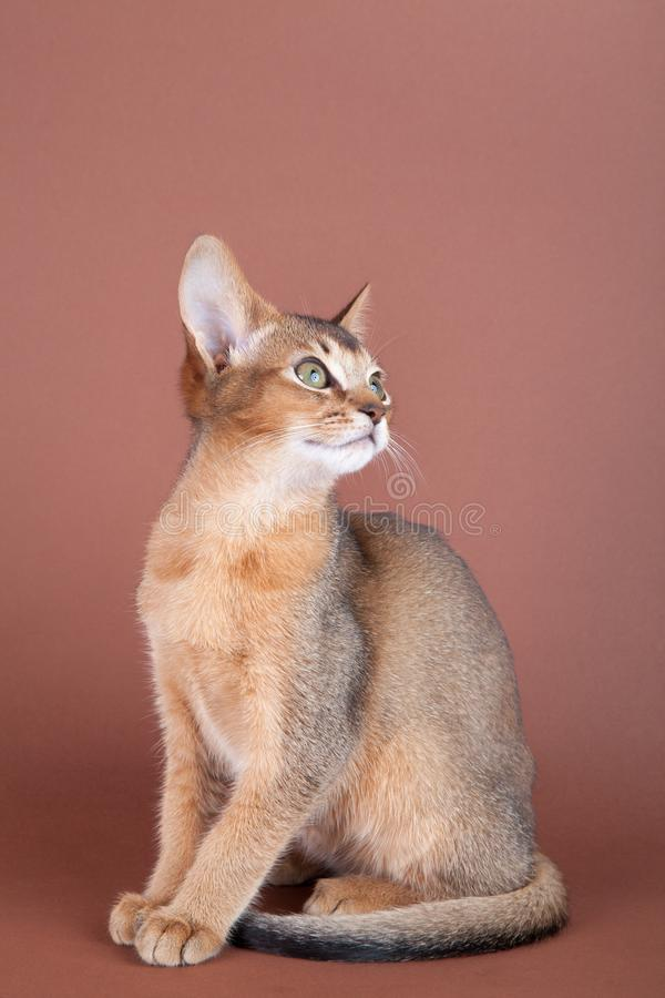 An little abyssinian ruddy cat, kitty. On a brown background stock photo