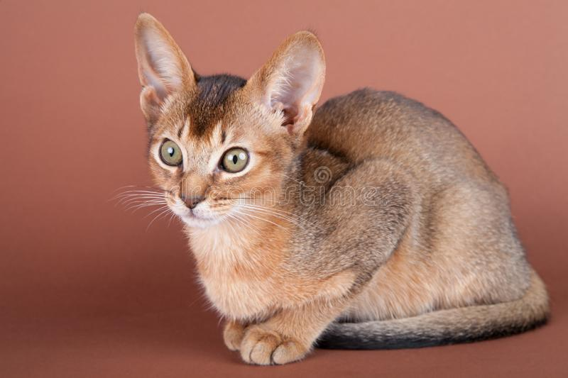 An little abyssinian ruddy cat, kitty. On a brown background stock image