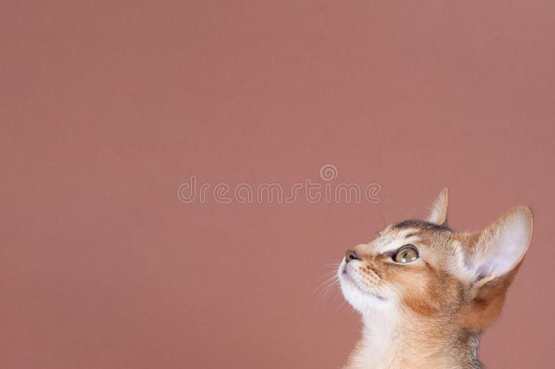 An little abyssinian ruddy cat, kitty. On a brown background royalty free stock photo