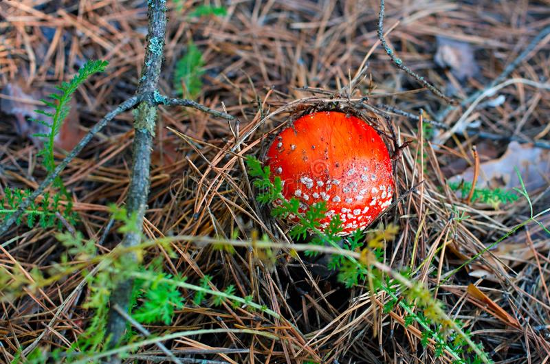 Little amanita growing in a pine forest stock photo