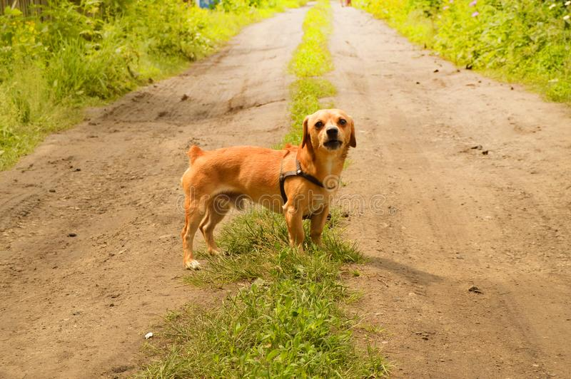 Little angry red dog stands on the road and looks aggressively, outdoors on a summer day. Brown small portrait looking walking guarding attacking biting animals royalty free stock image
