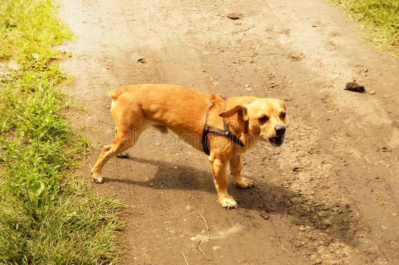 Little angry red dog stands on the road and looks aggressively, outdoors on a summer day. Brown small portrait looking walking guarding attacking biting animals stock photo