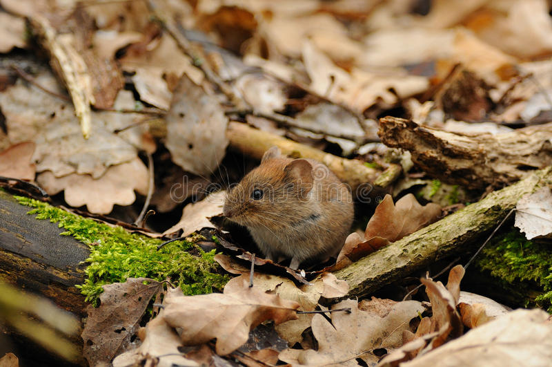 Mouse in the Leaves. This little animal i can photograph on the bottom of a little forest royalty free stock image