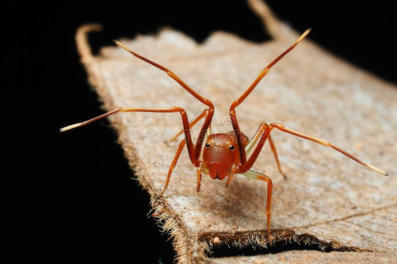 Little ant mimic spider shows his feet royalty free stock images