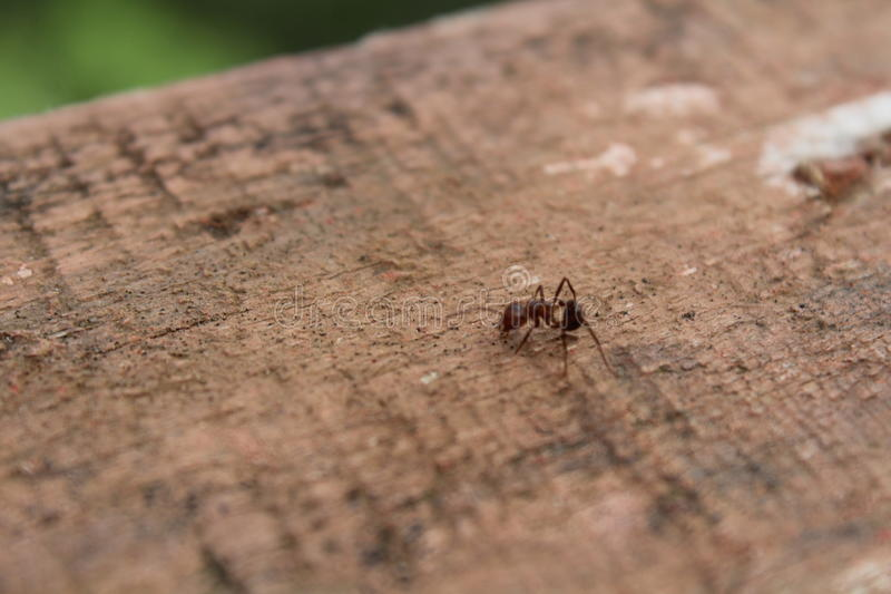 The little ant royalty free stock image