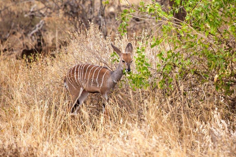 Little antelope is eating in the savannah of Kenya. Little antelope with white stripes is eating in the savannah of Kenya stock photo