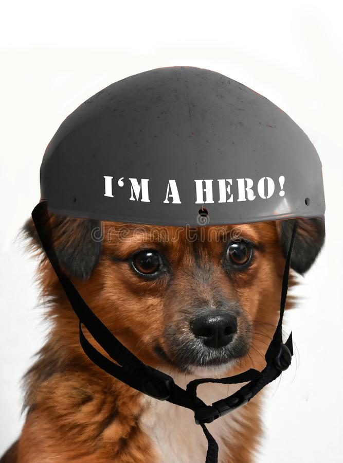 Little anxious looking puppy dog wearing a I`m a hero helmet royalty free stock photography