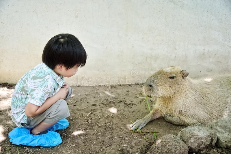 Little boy looking the capybara eating bamboo leaf royalty free stock photos