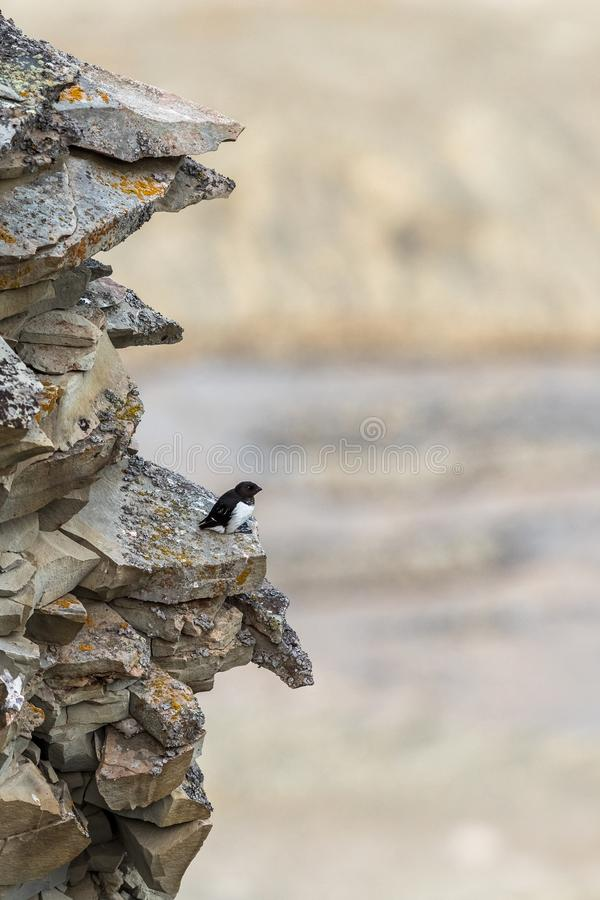 Little auk, Alle alle, one bird sitting at the breeding site on a cliff high above Longyearbyen. Spitsbergen, Svalbard stock photo