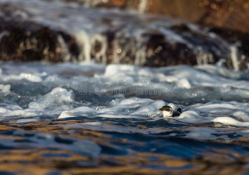 Little auk, black and white bird lying in the waves in sea near the coast stock image
