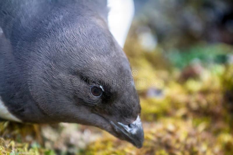 Little auk (dovekey, Alle alle) stock photo