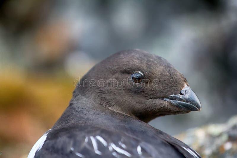 Little auk (dovekey, Alle alle) royalty free stock images