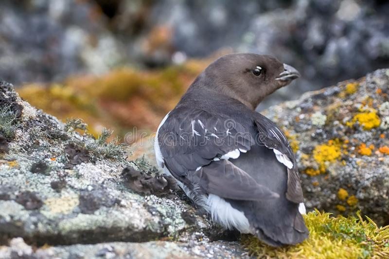 Little auk (dovekey, Alle alle). One of most Northern birds in world. Portraiture stock photos