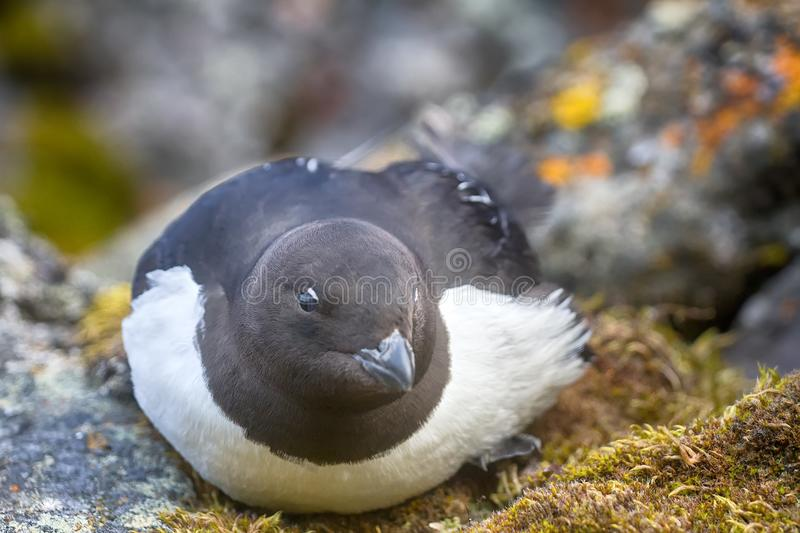 Little auk (dovekey, Alle alle). One of most Northern birds in world. Portraiture royalty free stock images