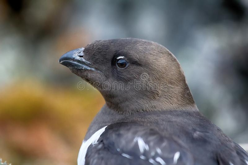 Little auk (dovekey, Alle alle). One of most Northern birds in world. Portraiture royalty free stock photo