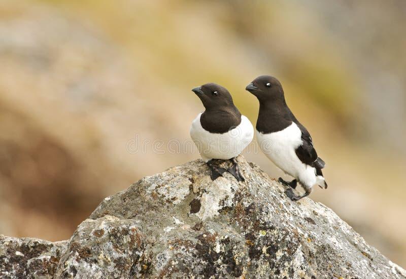 Little Auk, Kleine Alk, Alle alle. Little Auk adult perched on rock; Kleine Alk volwassen zittend op rots stock image