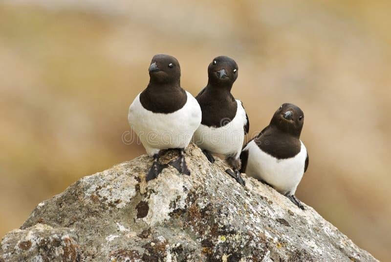 Little Auk, Kleine Alk, Alle alle. Little Auk adult perched on rock; Kleine Alk volwassen zittend op rots stock photo