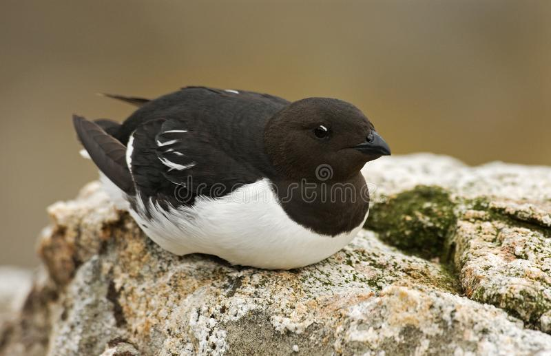 Little Auk, Kleine Alk, Alle alle royalty free stock image
