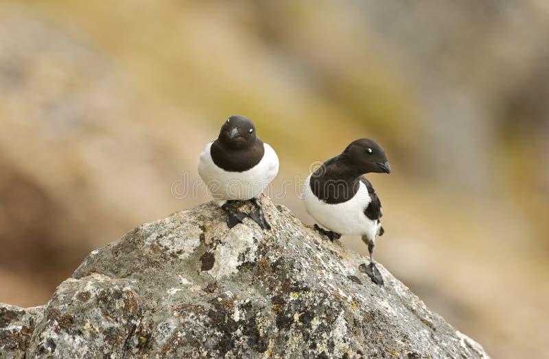 Little Auk, Kleine Alk, Alle alle. Little Auk adult perched on rock; Kleine Alk volwassen zittend op rots royalty free stock images