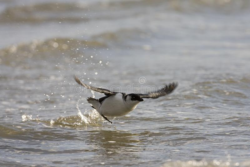 Little Auk, Kleine Alk, Alle alle. Little Auk flying from surface water; Kleine Alk opvliegend van het water stock photo