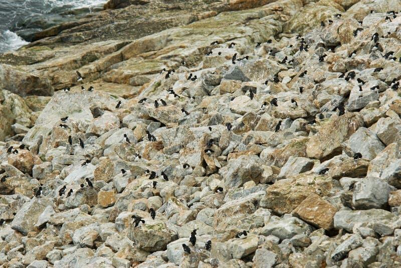 Little Auk, Kleine Alk, Alle alle. Little Auk perched on rock colony; Kleine Alk zittend op rots kolonie royalty free stock image