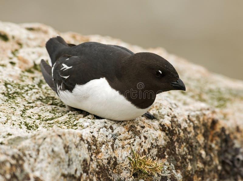 Little Auk, Kleine Alk, Alle alle. Little Auk perched on rock; Kleine Alk zittend op rots stock images