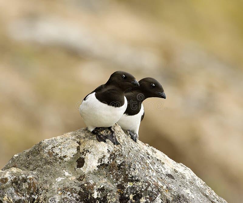 Little Auk, Kleine Alk, Alle alle. Little Auk perched on rock; Kleine Alk zittend op rots stock photo