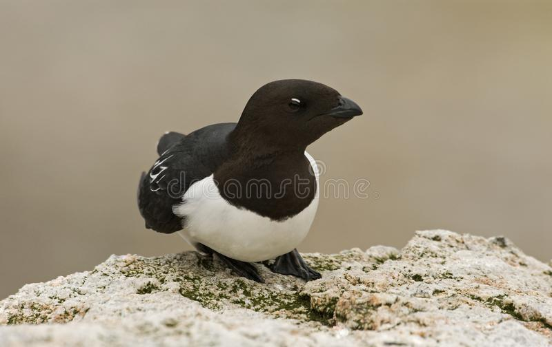 Little Auk, Kleine Alk, Alle alle royalty free stock photo