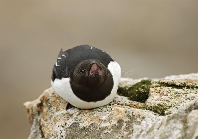 Little Auk, Kleine Alk, Alle alle. Little Auk perched on rock; Kleine Alk zittend op rots royalty free stock photos