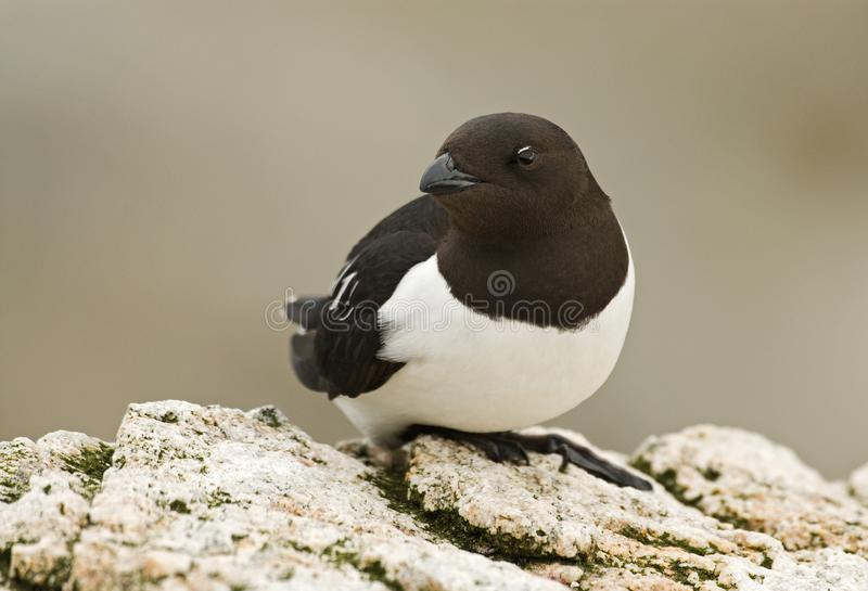 Little Auk, Kleine Alk, Alle alle stock photography