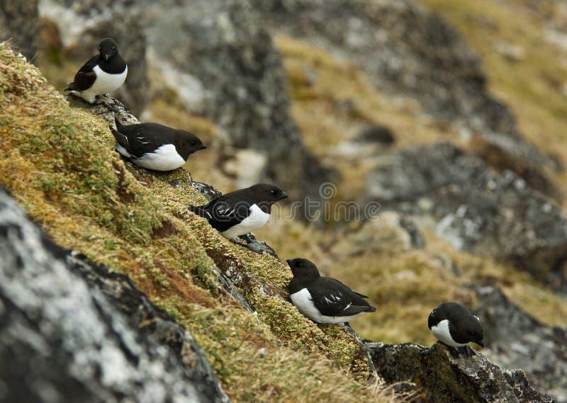 Little Auk, Kleine Alk, Alle alle. Little Auk perched on rock; Kleine Alk zittend op rots royalty free stock images
