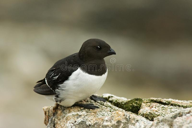 Little Auk, Kleine Alk, Alle alle stock photos