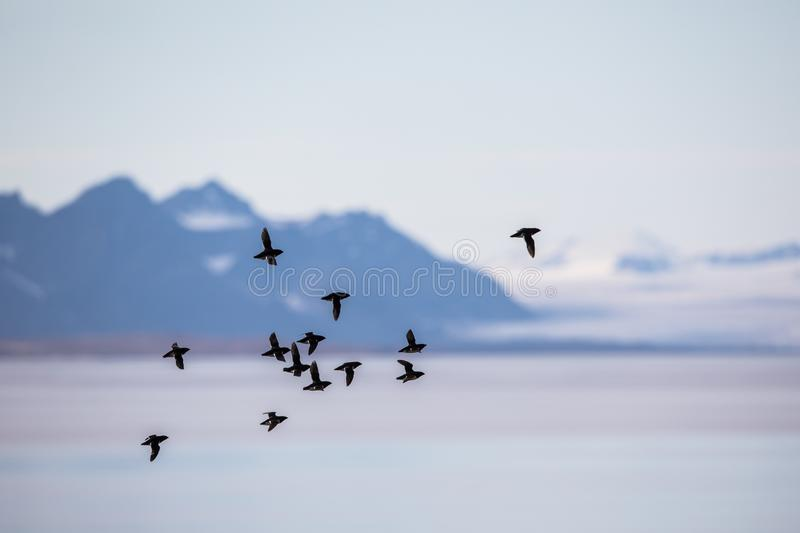 Little auks, Alle alle, flying in a flock in Spitsbergen, Svalbard, Norway royalty free stock images