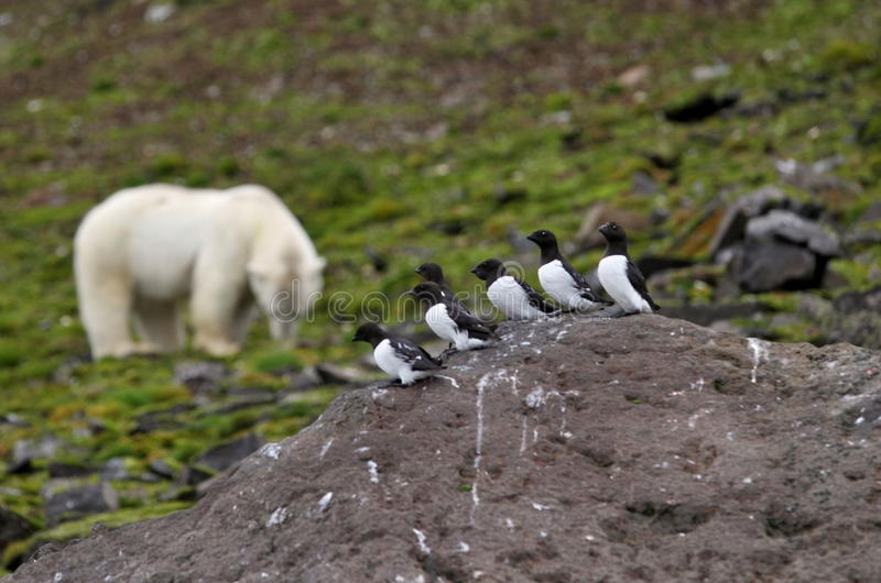 Little Auks and polar bear. In summer Arctic royalty free stock images
