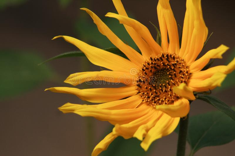 Yellow sunflower with long petals royalty free stock photos