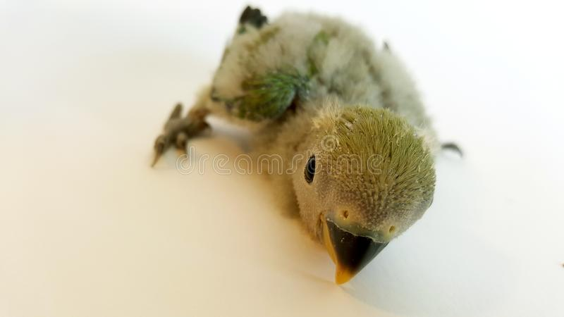 Little Baby Agapornis With Less Than A Month Stock Image ...